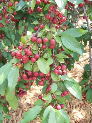 Indian Magic crabapple fruits