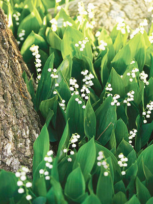 Image result for lily of the valley photo