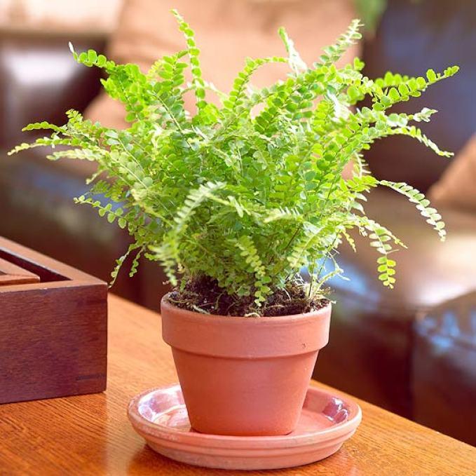 lemon button fern plant