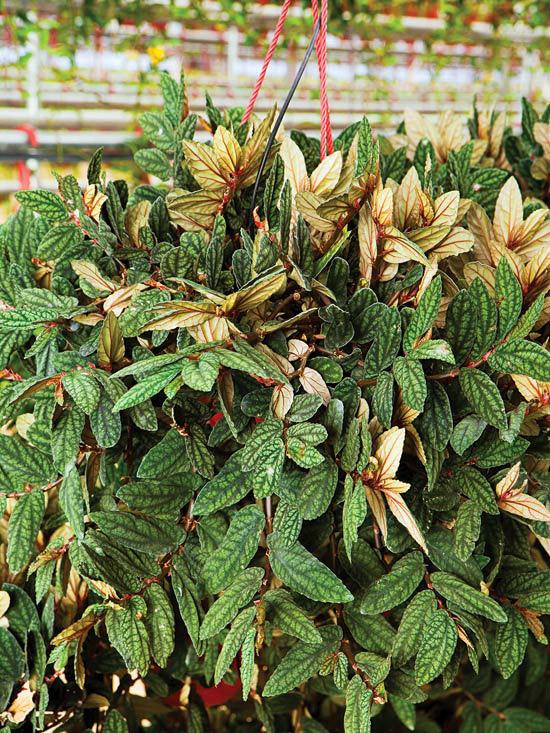 Begonia melancia