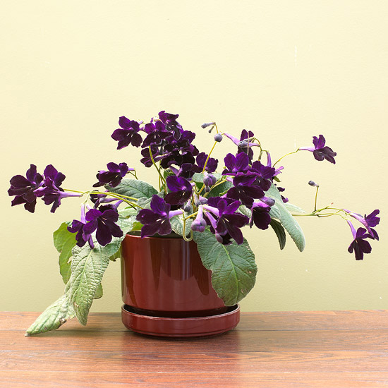 Streptocarpus
