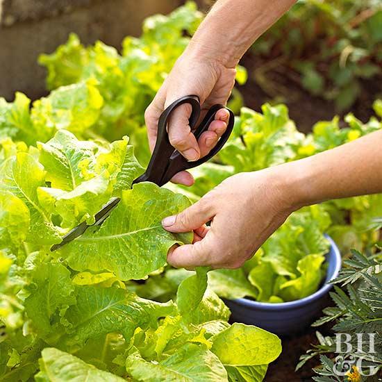 Leaf Lettuce Harvest