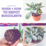 Succulent Studios Tiptuesday When How To Repot Succulents Milled