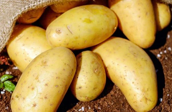 Eating potato as effective as carbohydrate gels