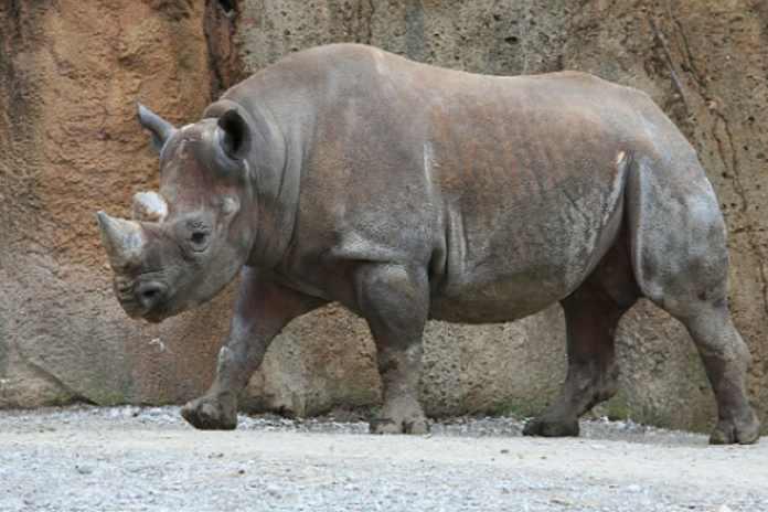 World Rhino Day: लॉकडाउन के चलते गैंडों के शिकार में आई 50-166% की कमी