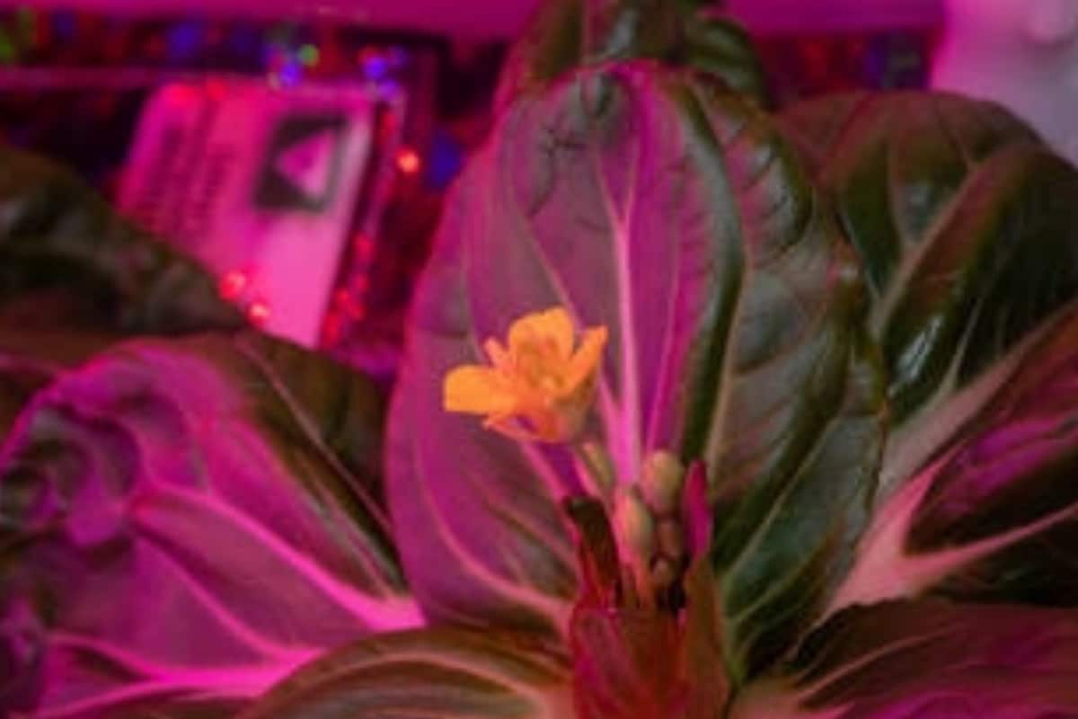 NASA Astronaut Successfully Harvests Two Plants in Space, Longest Leafy Greens Ever on ISS