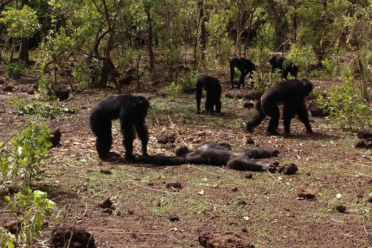 Chimps Beat Up Murder And Then Cannibalise Their Former Tyrant New Scientist