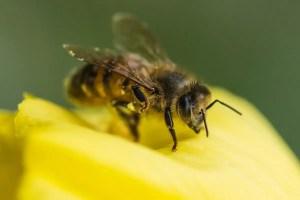 Petals detect buzzing bees