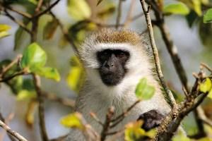 A green monkey