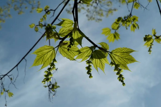 The striped maple (Acer pensylvanicum) can switch to making flowers of a different sex