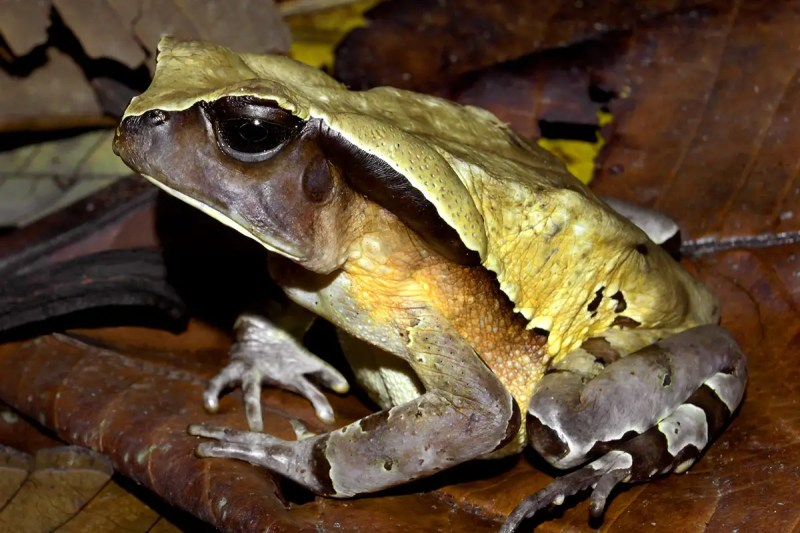 Giant toad looks and acts like a venomous snake to scare off predators
