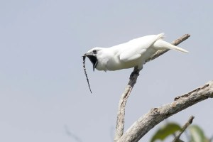Male white bellbird