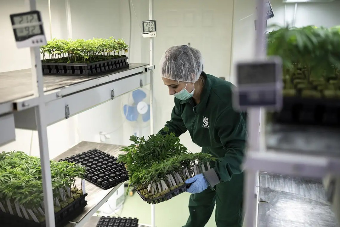 Worker growing cannabis plants