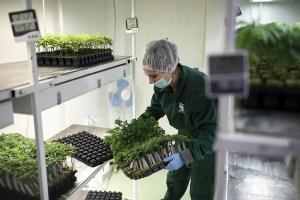 Worker growing cannabis plants