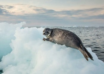 A deadly seal virus may be spreading faster due to melting Arctic ice