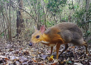 We thought this tiny deer-like animal was extinct for almost 30 years