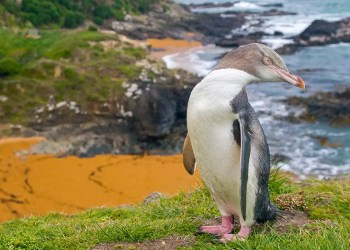 Strategic voting helps yellow-eyed penguin win bird of the year