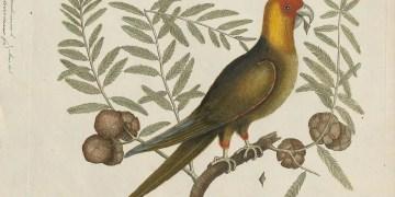 Lost US parrot species went extinct not once but twice