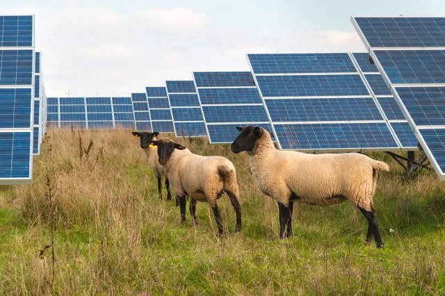 Solar panels and sheep