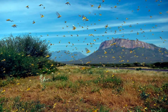 Unusual cyclones over the last 2 years created Africa's locust plague