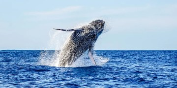 Solar storms may interfere with the ability of whales to navigate