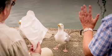Seagulls are more likely to pick up food that humans have handled