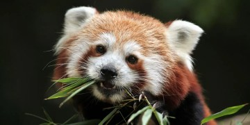 Red panda genes suggest there are actually two different species
