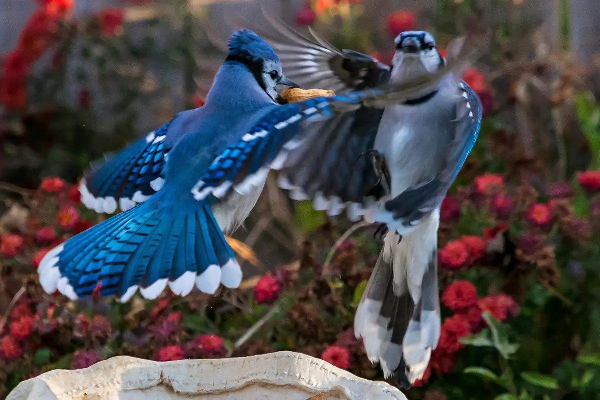 The strange physics of why blue jays look blue even though they aren't