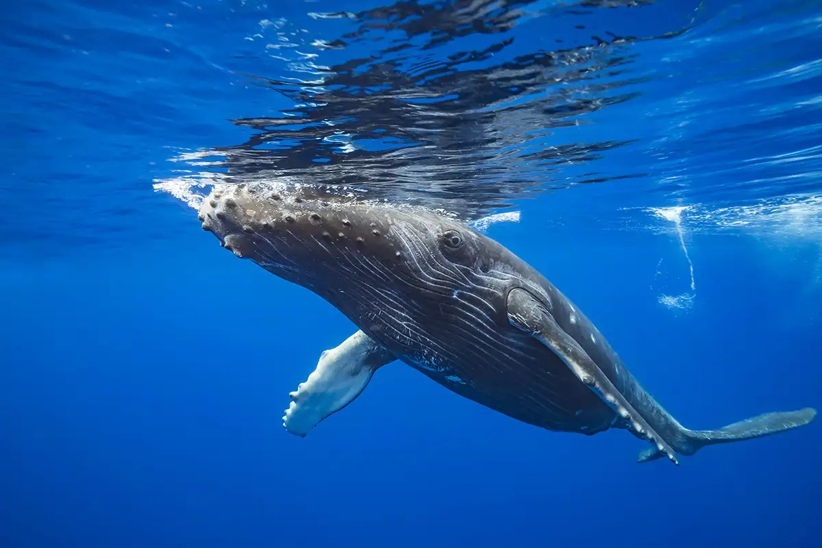Humpback whales may benefit from a lack of cruise ships