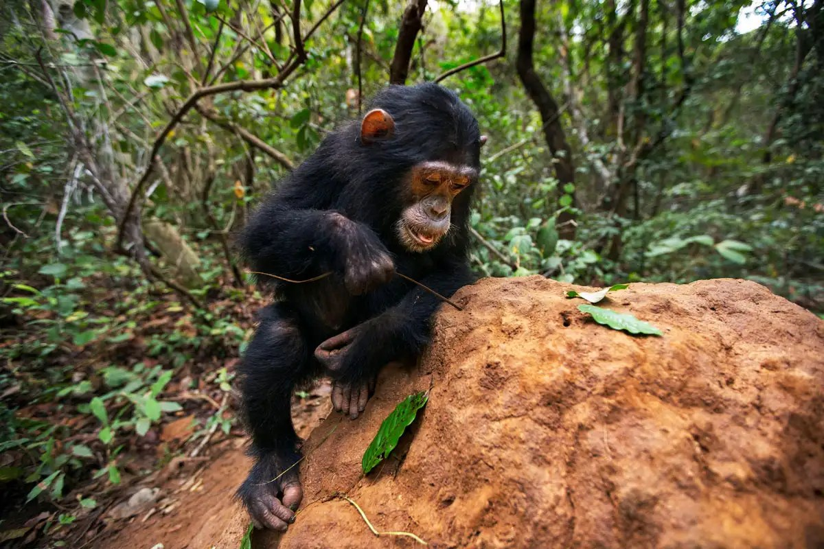 Chimps have local culture differences when it comes to eating termites