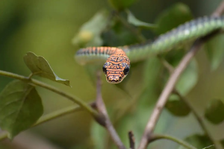 Flying snakes wiggle their bodies to glide down smoothly from trees