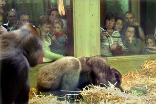 een gorilla houdt helemaal niet van