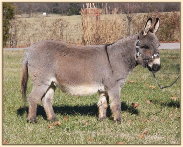 Police Get Ass, Rescue Hank The Miniature Donkey