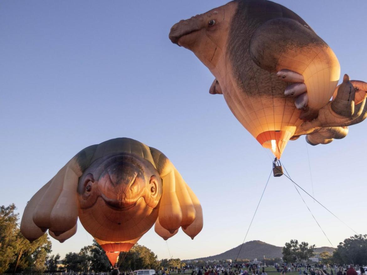 Artist Patricia Piccinini's new hot air balloon sculpture Skywhalepapa, along with the iconic Skywhale, in Canberra.