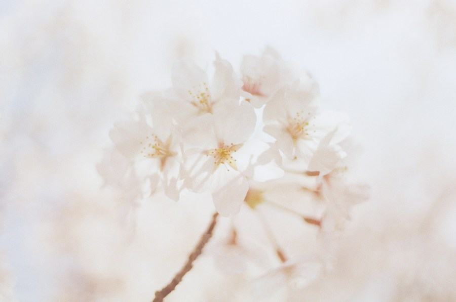 1000  Beautiful White Flowers Photos      Pexels      Free Stock Photos Close Up Photography of White Flowers