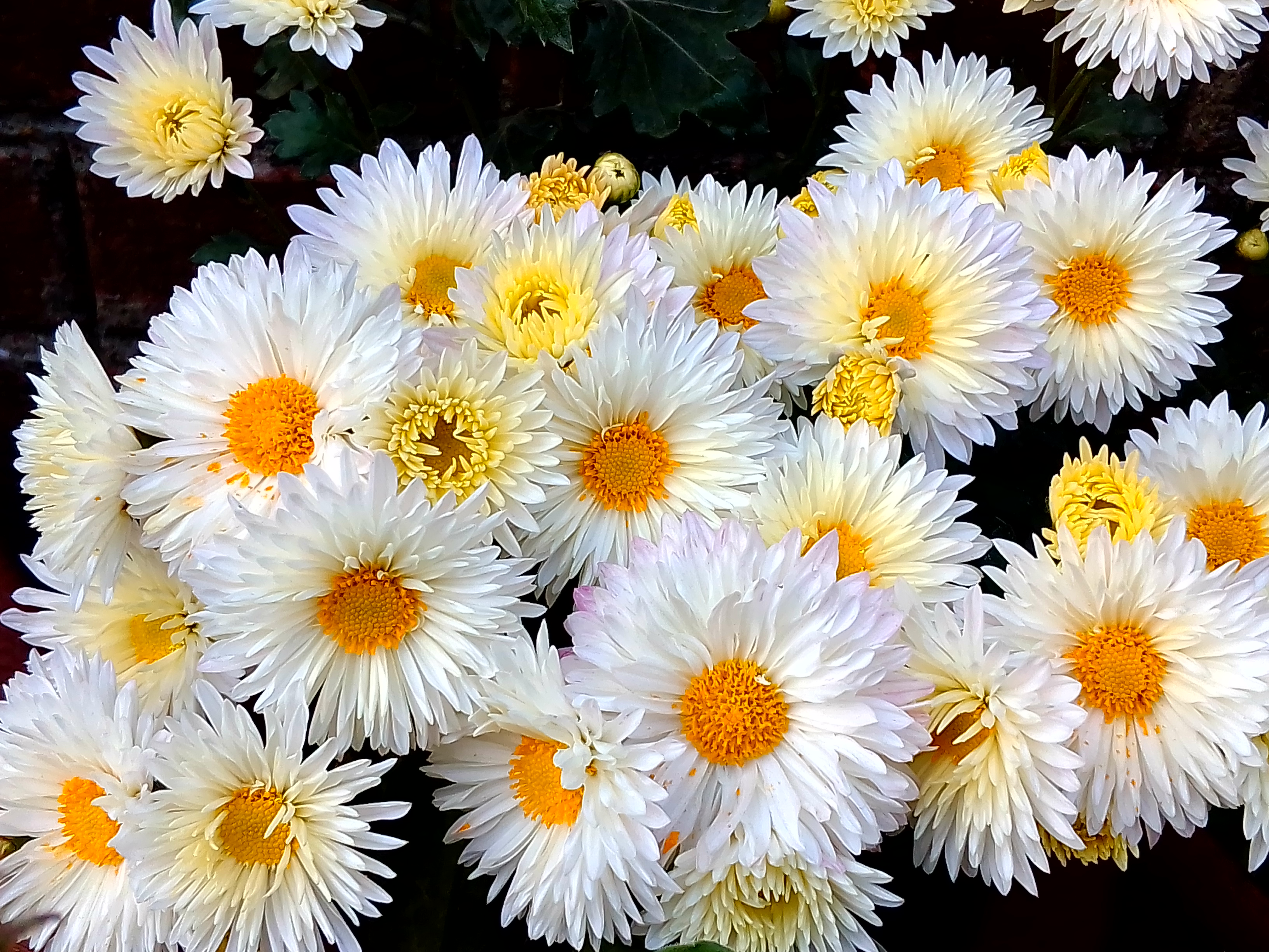 Free Stock Photo Of Beautiful Flowers Chrysanthemum Flower Wallpaper