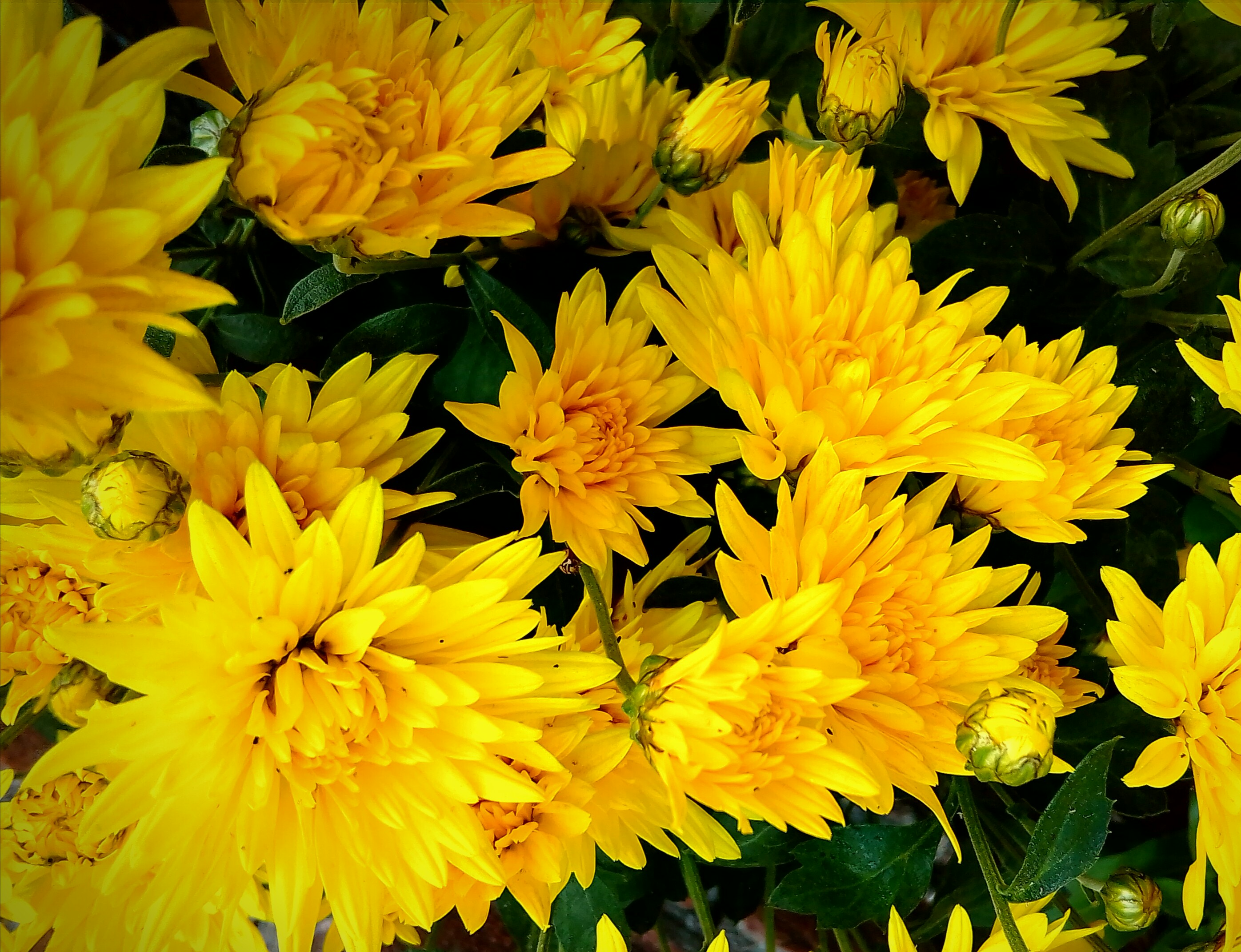 Free Stock Photo Of Beautiful Flowers Chrysanthemum Flower Wallpaper