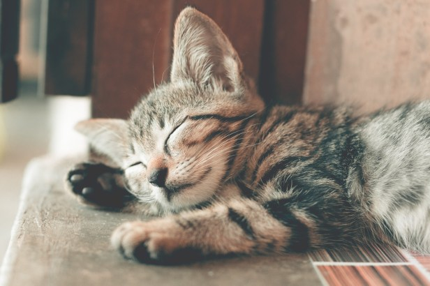 Close-Up Photography of Sleeping Tabby Cat
