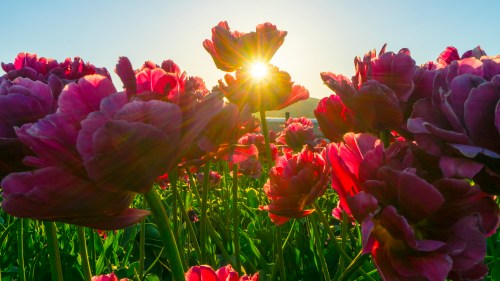 How to Plant Tulip Bulbs in a Pot