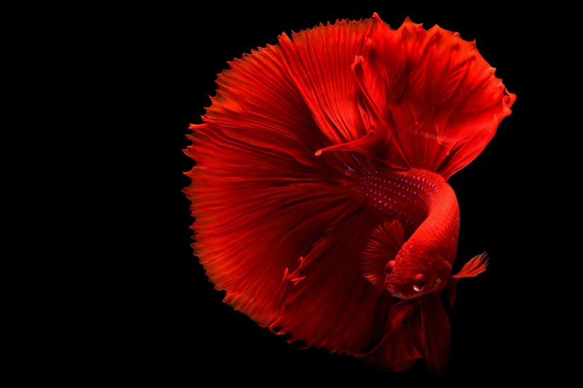 how to properly take care of a Betta fish