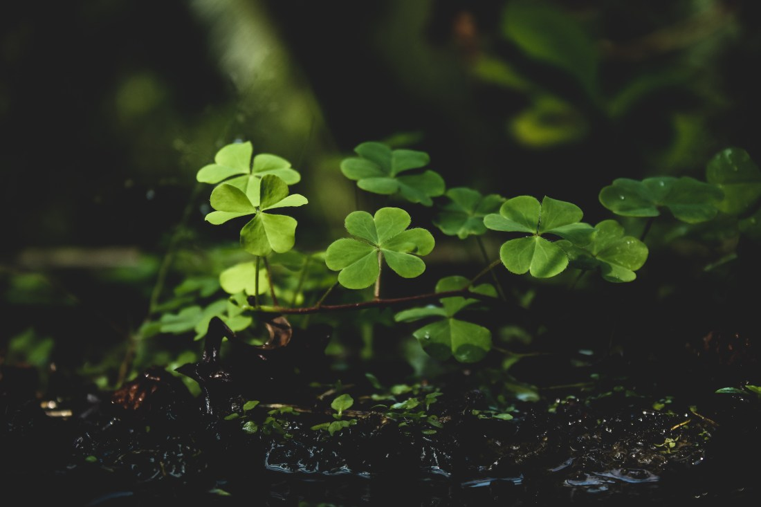 à feuilles persistantes, chance, chanceux