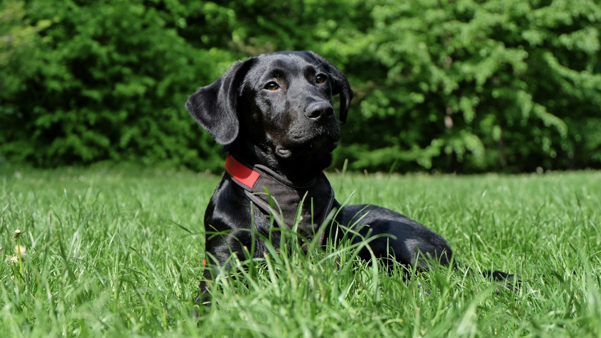Black Labrador Retriever Lying on Grasses