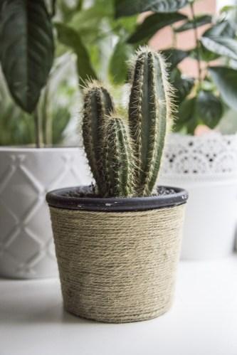 Cactus Plant In White Pot 183 Free Stock Photo