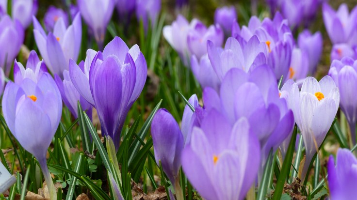 bloom, blossom, crocus