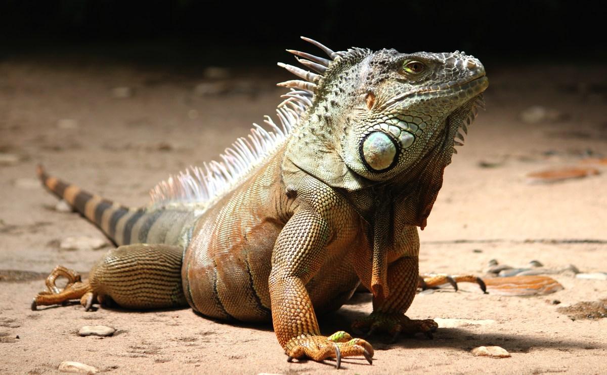Close-up of a Iguana