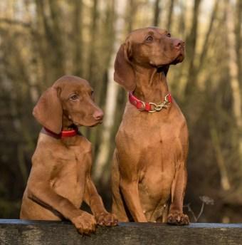 2 Cani Vizsla In Piedi Su Un'asse Di Legno Marrone