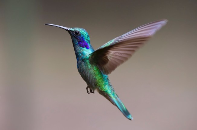 Teal and Brown Hummingbird Flying