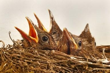 animal, bird's nest, birds