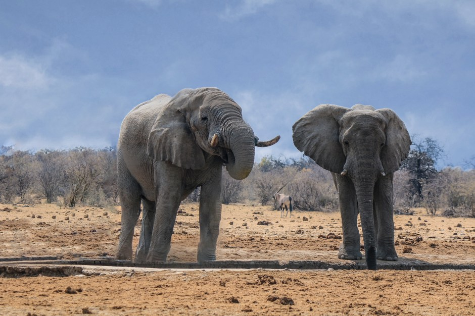 elephants - heaviest land animals in the world
