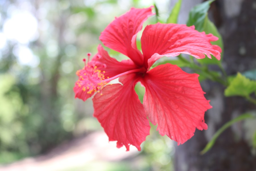 Free stock photo of beautiful flowers  flower  Hibiscus Free Download